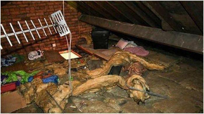 Wanita Ini Terkejut saat Memeriksa Loteng Rumahnya, Mengira Tikus Ternyata Mantan Kekasihnya