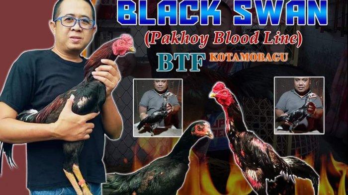 Hasil Ternak Ayam Tarung Bangkok Totabuan Farm Semakin Diminati