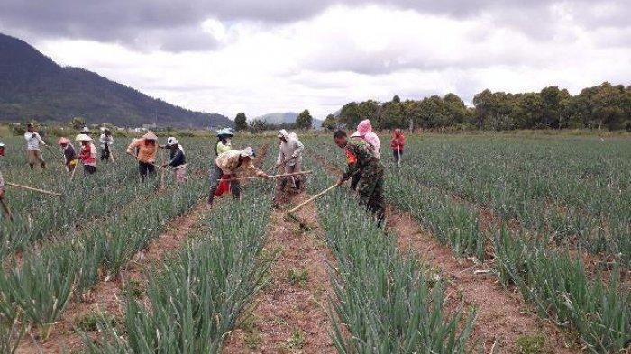 Kopda Sarip Bersama Petani Rawat Tanaman Bawang Merah