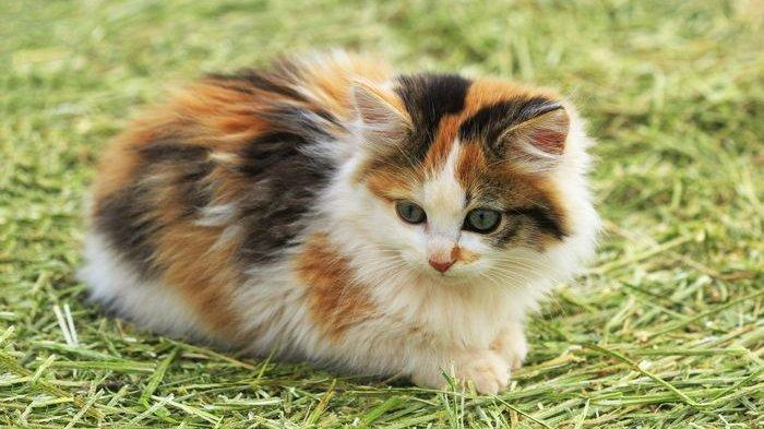 Mengapa Kucing Jantan Belang Tiga Sangat Sulit Ditemukan Ini Penjelasannya Halaman All Tribun Manado