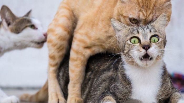 Kucing bersisik saat kawin