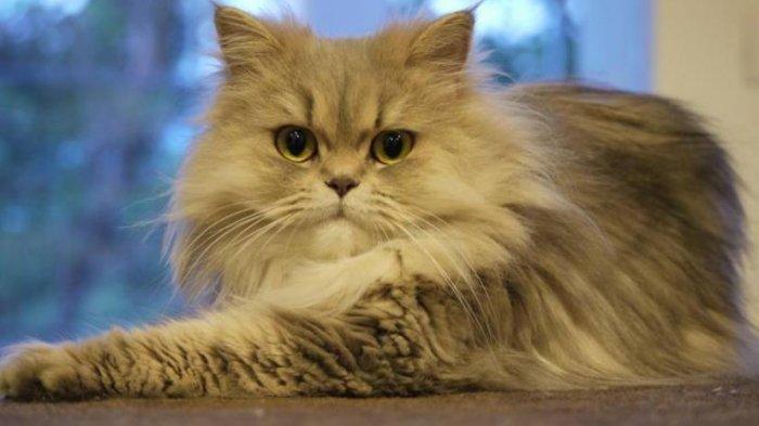 Berikut 5 Jenis Kucing Termahal Di Dunia Ada Seharga 25 Ribu Dolar Amerika Tribun Manado