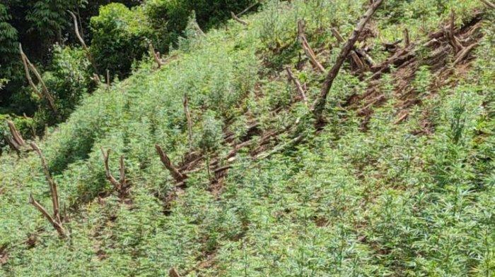 Polisi Temukan 5 Hektar Lahan Ditanami 17.500 Batang Ganja,Capai Lokasi Jalan Kaki Selama 3,5 Jam