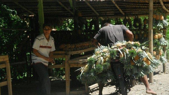Desa ini Penghasil Nanas di Bolmong, Setiap Tahun Panen2.400 Ton