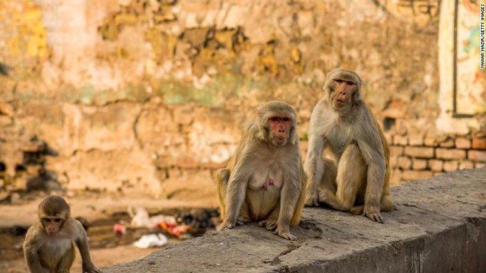 Potret Monyet Mencuri Uang di India, Dua Orang Ditangkap Polisi