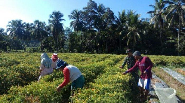 Babinsa Bantu Warga Panen Cabai Hibrida di Pinolosian Kabupaten Bolsel