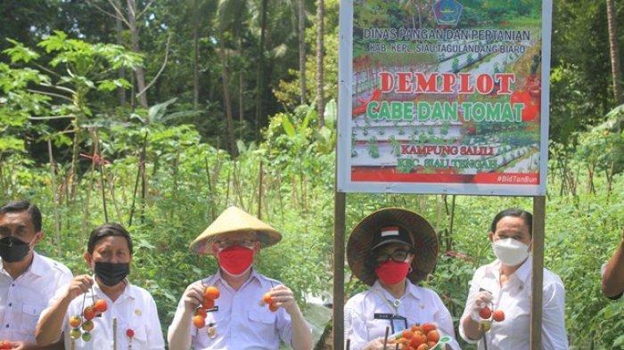 Wabup Sitaro Pimpin Panen Perdana Tomat dan Cabai di Kampung Salili