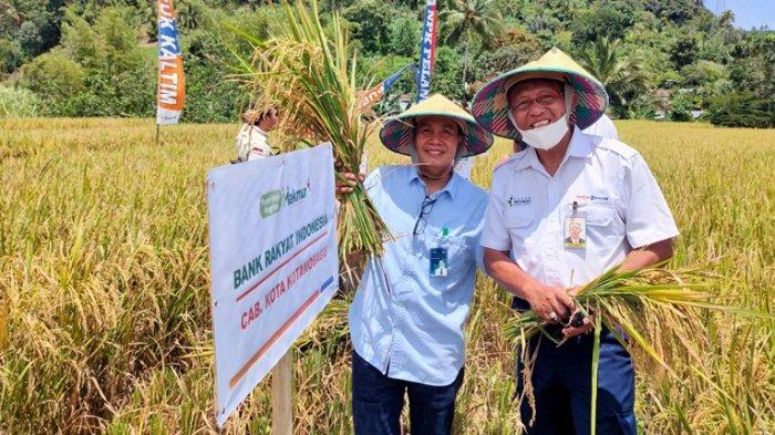 10 Hektar Lahan Padi Program Makmur Agro-Solution di Kabupaten Bolmong Lakukan Panen Raya