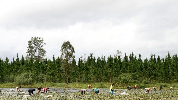 Pekerja sedang sibuk menanam stroberi di berbagai pertanian di Queensland.(ABC Rural: Melanie Groves)
