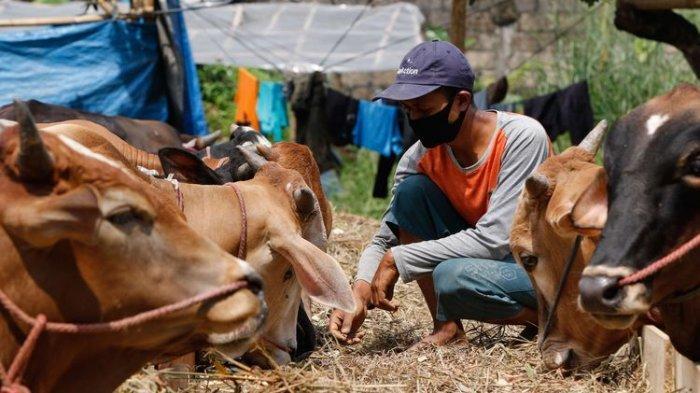 Pemkab Bolmut siapkan 76 sapi kurban untuk Idul Adha ini.