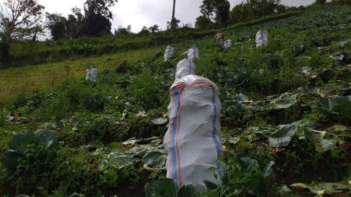 Petani Kubis Rurukan Tomohon Panen 28 Karung per Hari, Dikirim ke Maluku dan Papua