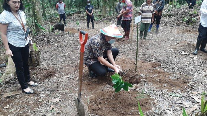 Penanaman perdana Kopi Arabika Mahawu, Kamis (8/4/2021).