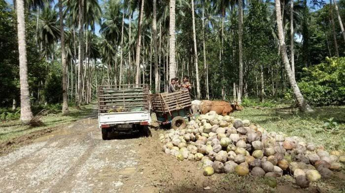 Cengkeh, Kakao, dan Kelapa Jadi Komuditas Perkebunan Unggulan di Bolsel