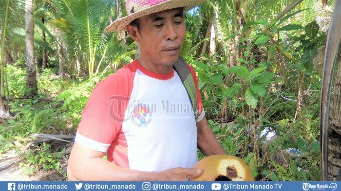 Petani Kelapa di Miangas Terus Diganggu Hama Tikus