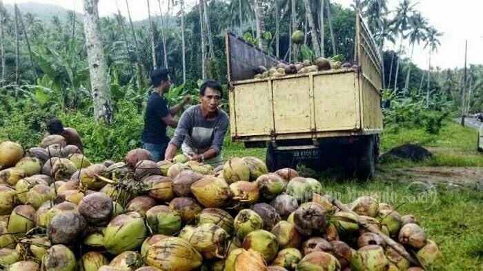 Harga Kopra Turun, Amstrong Rasakan Kesedihan Petani Kelapa