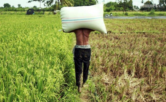 Tahun Ini Dinas Pertanian Bolmong Target Produksi 360 Ribu Ton Gabah Kering