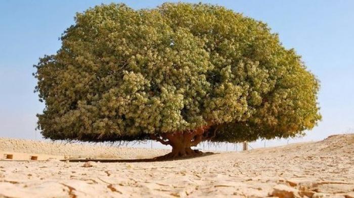 Kisah Pohon Sahabi Berusia 1.400 Tahun, Satu-satunya 'Sahabat' Nabi yang Masih Hidup