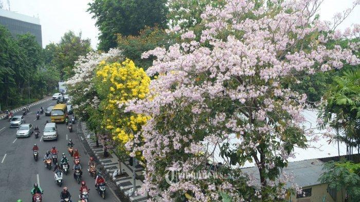 Besok ASN Bolmong Tanam Bunga Tabebuya