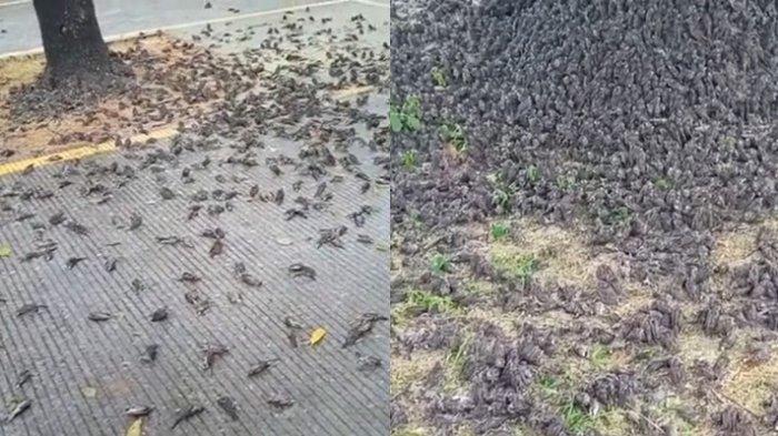 Ratusan Burung Pipit Berjatuhan Mati di Cirebon, SebelumnyaFenomenaIni Terjadi di Bali