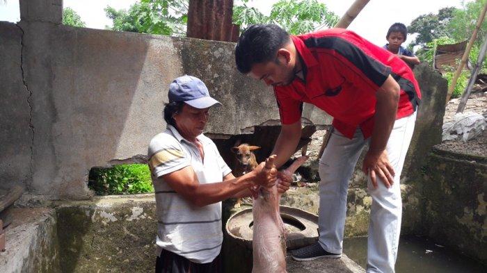 Bisa Sebabkan Kematian, Virus Hog Cholera Serang Ternak Babi di Bolmong