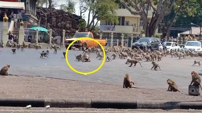 VIDEO Ratusan Monyet Lapar Tawuran Berebut Makanan & Serbu Kota, Dipicu Wabah Virus Corona