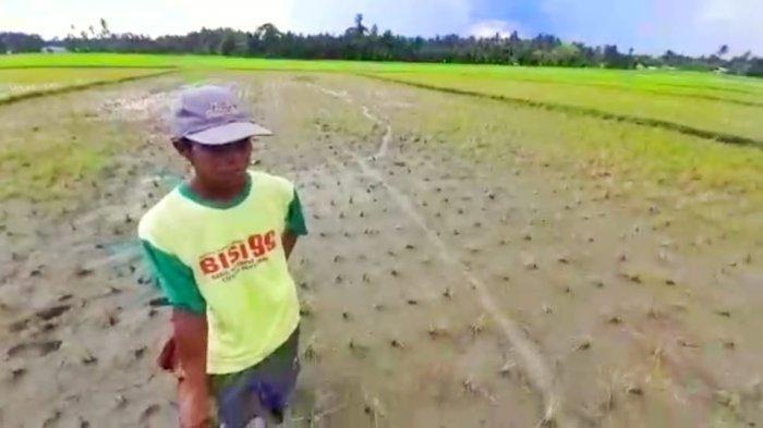 Tanaman Diserang Hama, Petani di Sangtombolang Kabupaten Bolmong Kehabisan Akal