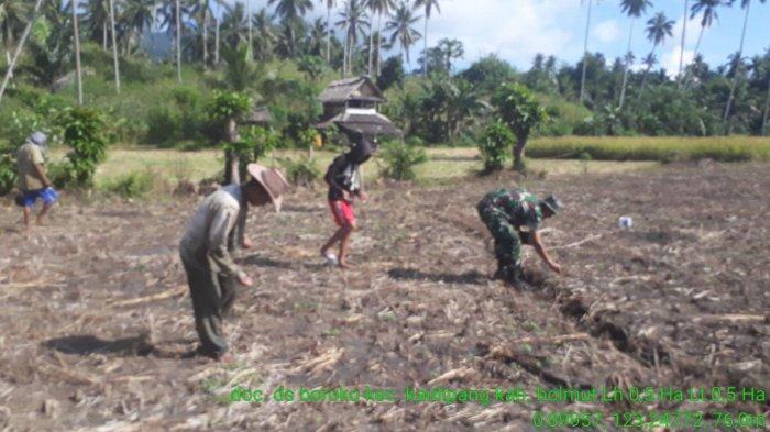 Sambut Musim Tanam, Babinsa Dampingi Petani Desa Boroko Tanam Jagung