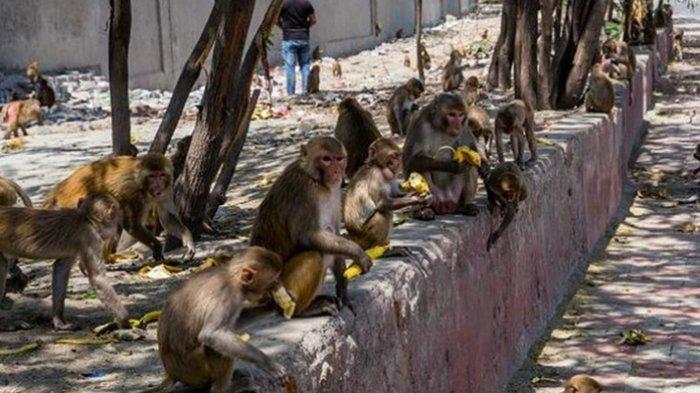 China Diserang Virus Monkey B, Seorang Dokter jadi Korban Keganasan, Lebih Bahaya dari Covid-19?
