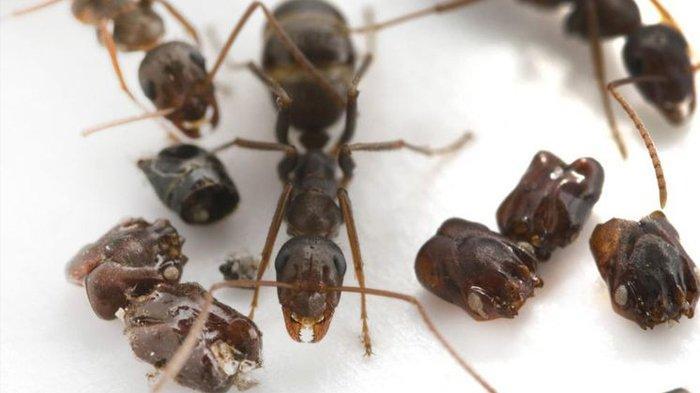 Semut Ini Hiasi Sarang dengan Tengkorak Musuhnya