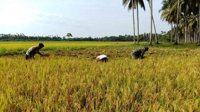 Senantiasa Bantu Kesulitan Masyarakat, Sertu Sangkala Dampingi Petani Panen Padi