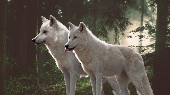 Arti Mimpi Melihat Serigala, Bisa Jadi Pertanda Baik Maupun Buruk, Cek Tafsirannya