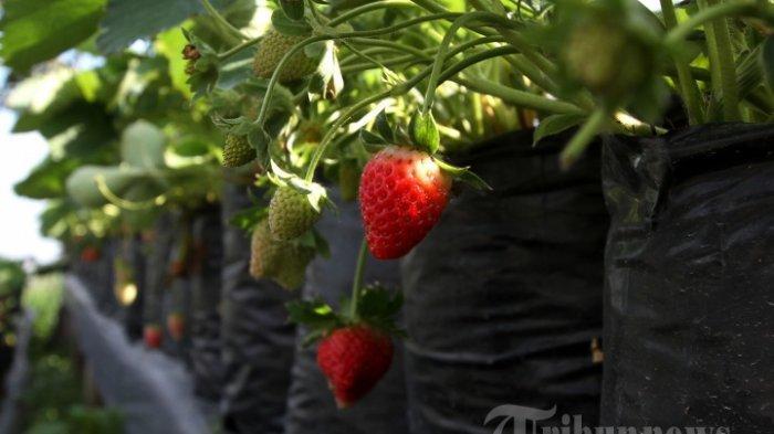 Arti Mimpi Makan Stroberi, Punya Banyak Makna, Ini Tafsiran Lengkapnya