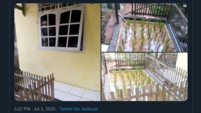 Viral Warga Tanam Padi Di Teras Rumah Beralaskan Keramik Dikelilingi Pagar Bambu Tribun Manado