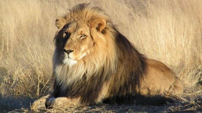 6 Arti Mimpi Dikejar Singa, Nomor 3 Jadi Pertanda Buruk, Begini Tafsirannya