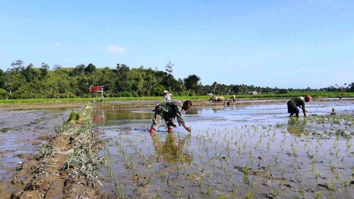 Tanpa Merasa Canggung Anggota TNI Ini Langsung Terjun ke Sawah Bantu Petani Tanam Padi