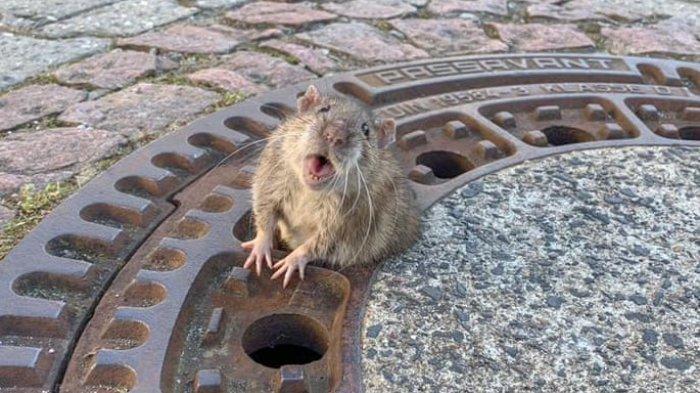 tikus-gendut.jpg