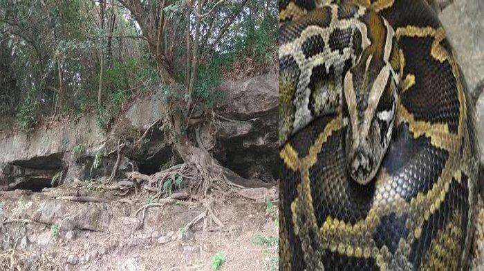Potret Ular Sanca Raksasa Empat Meter Ditemukan di Bawah Tempat Tidur Warga, Kelihatan Ekornya