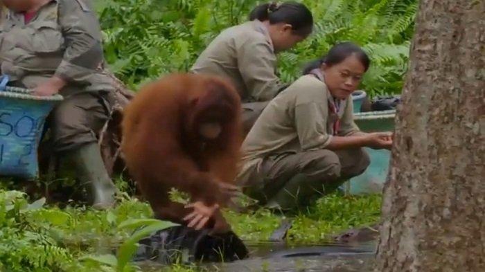 Video Viral Orangutan Ajarkan Cuci Tangan, Petugas Ikut Memperhatikan Tingkah Lakunya