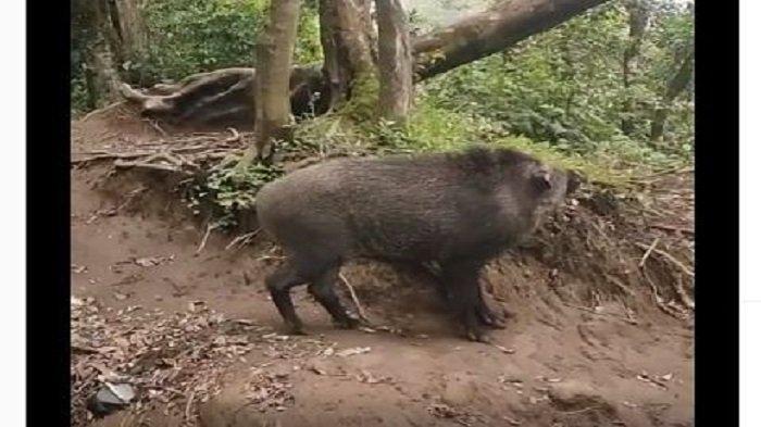 Viral Babi Hutan Nama Bagas, Pendaki Gunung Harus Naik Pohon karena Kelakuannya