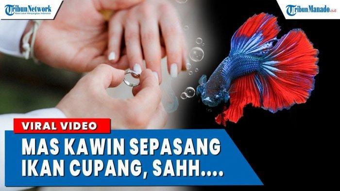 VIDEO Viral Pernikahan Dengan Mas Kawin Sepasang Ikan Cupang
