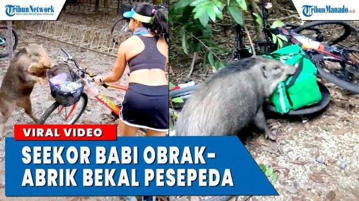 VIDEO Viral Babi Ambil Makanan Wanita yang Bawa Sepeda