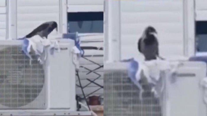 VIRAL VIDEOAksi Burung Gagak Sobek-sobek Bendera Israel, Seakan Menunjukkan Aksi Penolakan
