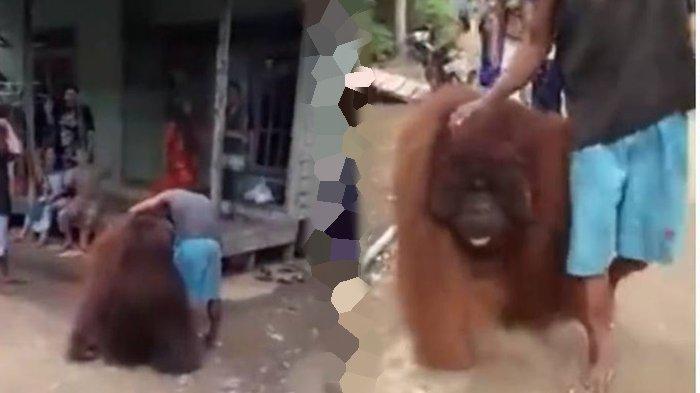Viral Video Detik-detik Orangutan 'Jalan-jalan' Santai di Permukiman Warga, Langsung di Beri Makan