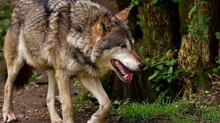 Arti Mimpi Serigala, Pertanda Kesuksesan hingga Terbongkarnya Keburukan, Ini Tafsir Lengkapnya