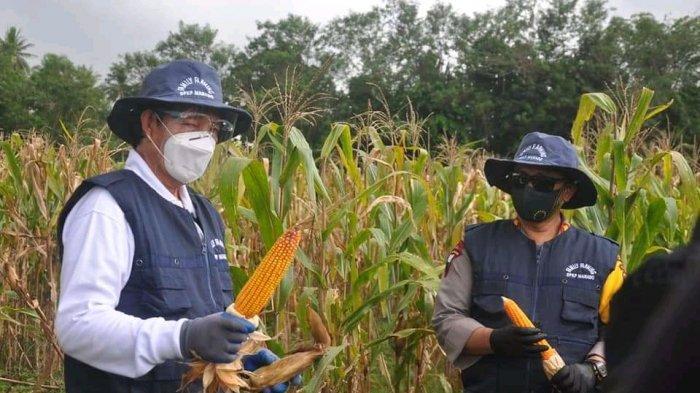 Wali Kota Bersama Kapolresta Manado Melakukan Panen Jagung dan Kacang, Jaga Ketahanan Pangan