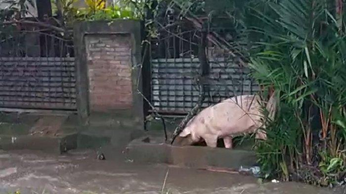 Banjir Landa Manado, Warga Kalasey Lepas Ternak dari Kandang
