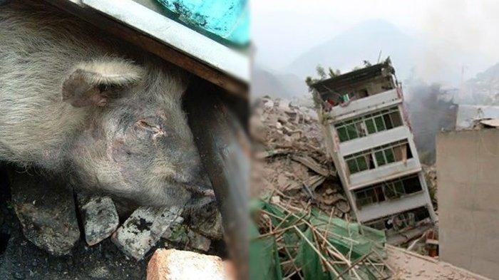 Selamat dari Gempa China 2008, Babi Ajaib Ini Dikabarkan Sekarat, Umurnya Setara 100 Tahun Manusia