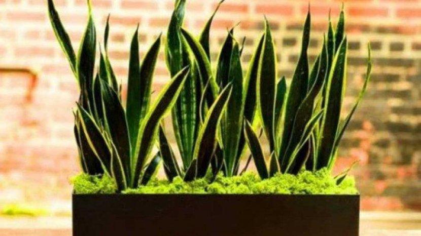 tanaman-lidah-mertua-7767.jpg