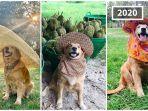 anjing-berjenis-golden-retriever-bernama-jubjib-dari-thailand.jpg