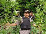 aparat-kepolisian-dari-polres-keerom-menemukan-ladang-ganja-seluas-1-hektare.jpg